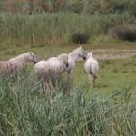 De hvide heste i Camargue